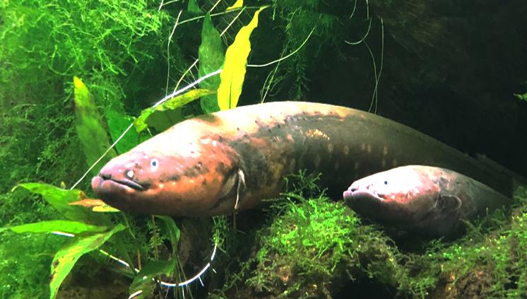 Núcleo de Ecologia Aquática e Pesca da Amazônia lança concurso para escolher logotipo e logomarca